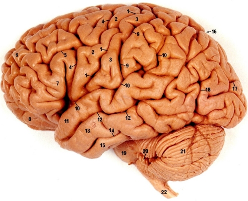http://www.ipmc.cnrs.fr/~duprat/neurophysiology/images/brain2.jpg